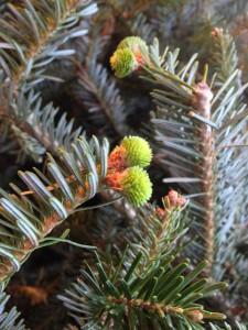 Fresh needles on the tree